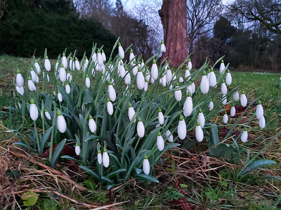 The Galanthus plicatus 'Colossus'