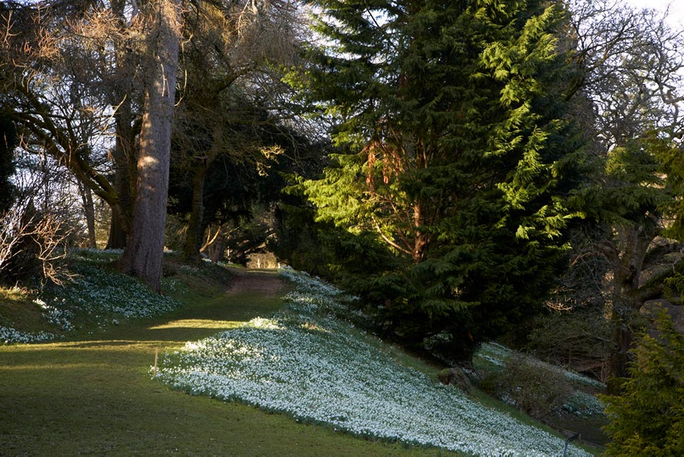Snowdrops along Lake bank